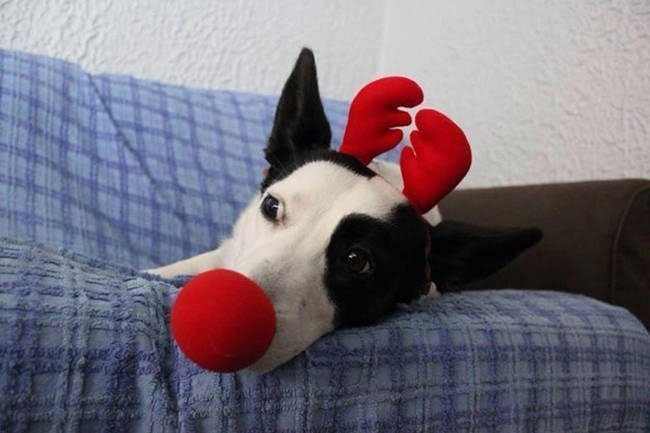 consejo-navidad-animal8