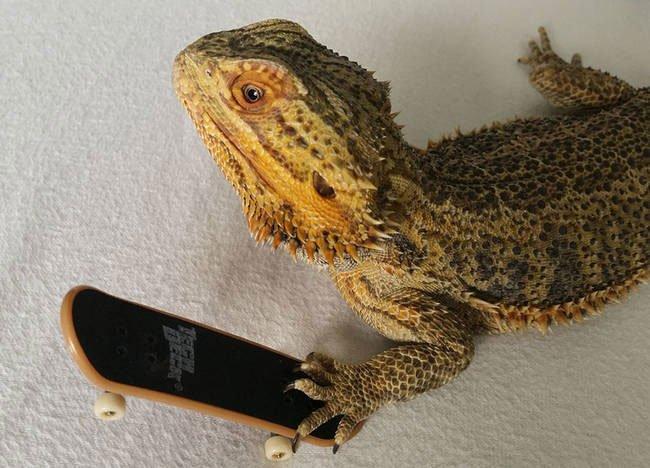 pringle-dragon-barbudo5