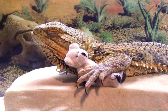 pringle-dragon-barbudo8
