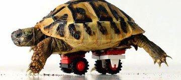 Esta tortuga enferma puede andar de nuevo gracias a la creatividad del veterinario.