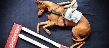 Fotógrafa creativa plasma las locas aventuras vividas por su precioso y soñoliento perro.