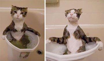 15 Gatos locuelos que realmente adoran el agua y los baños. Mira como disfrutan.