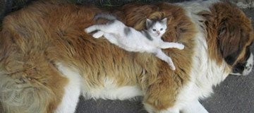 20 Gatos decidieron que podían usar a los perros como almohadas.
