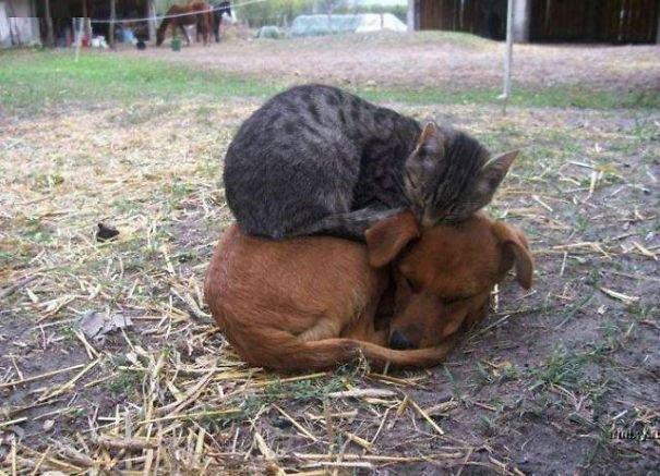 gatos-usan-perro-almohada1