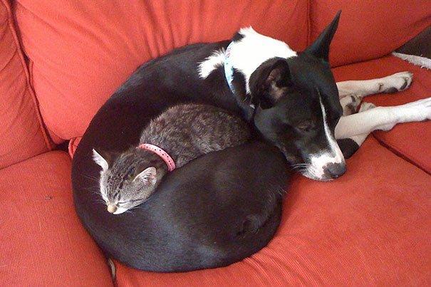 gatos-usan-perro-almohada10
