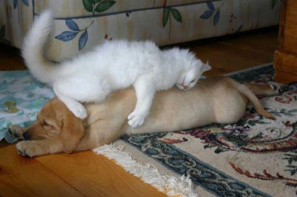 gatos-usan-perro-almohada11