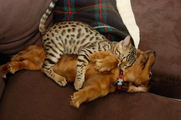 gatos-usan-perro-almohada12