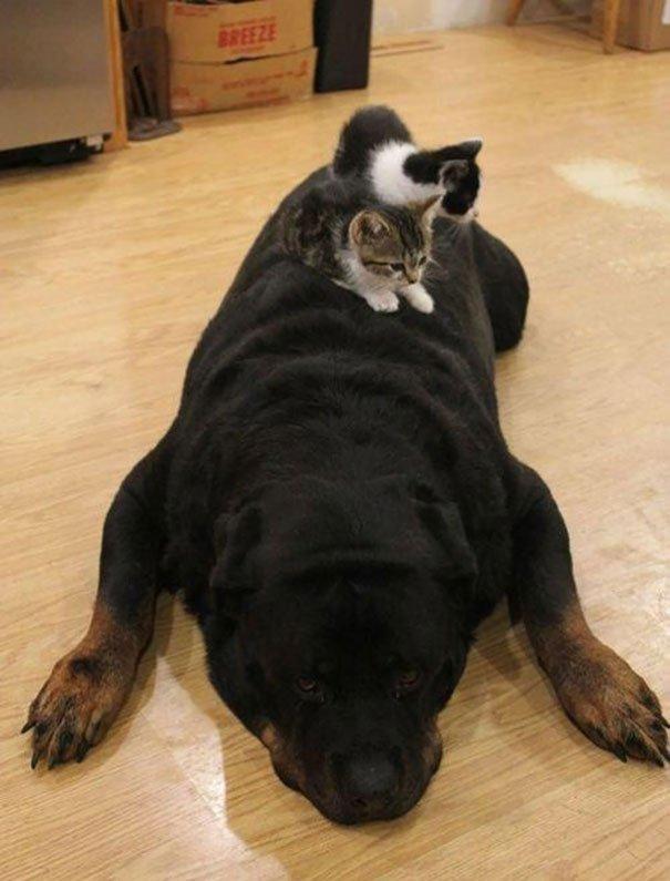 gatos-usan-perro-almohada15