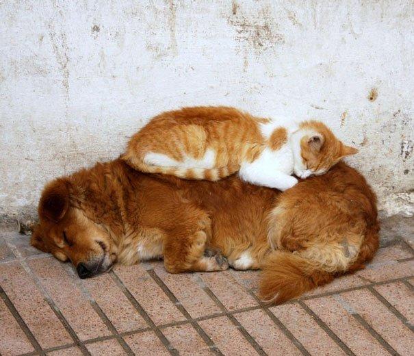 gatos-usan-perro-almohada16