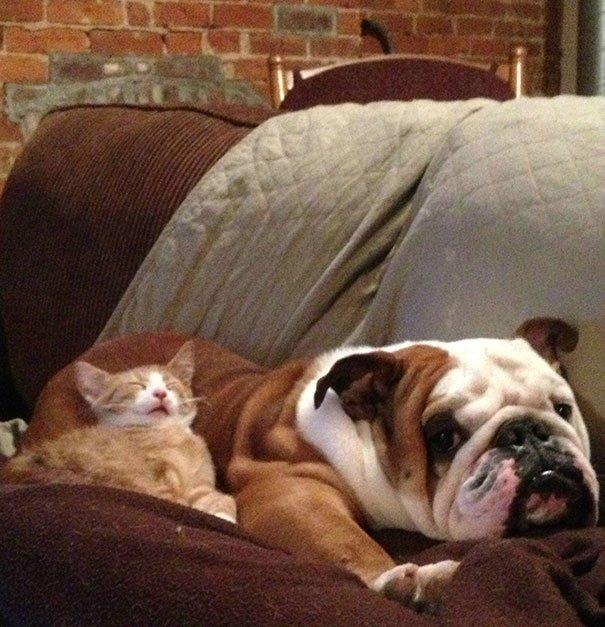 gatos-usan-perro-almohada17