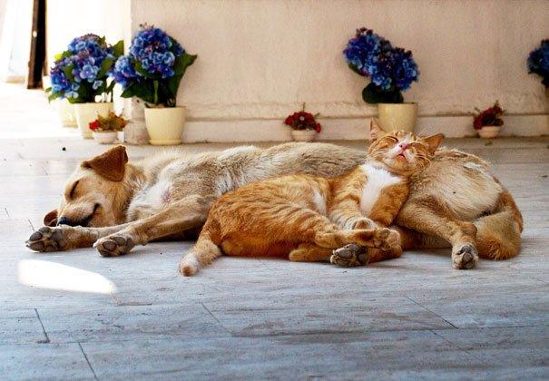 gatos-usan-perro-almohada18