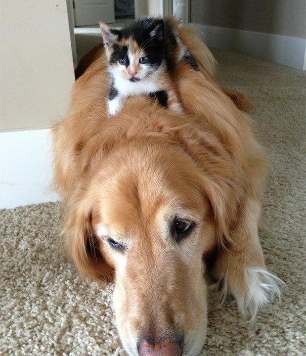 gatos-usan-perro-almohada19