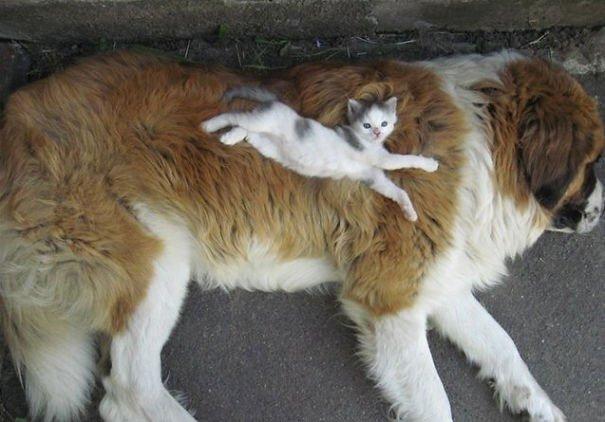 gatos-usan-perro-almohada2