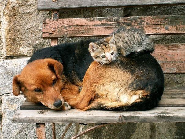 gatos-usan-perro-almohada20
