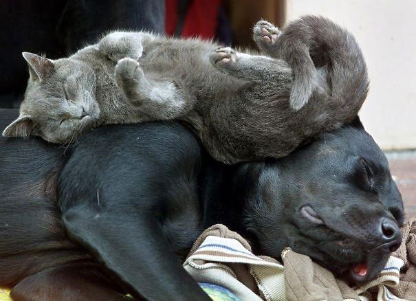 gatos-usan-perro-almohada6