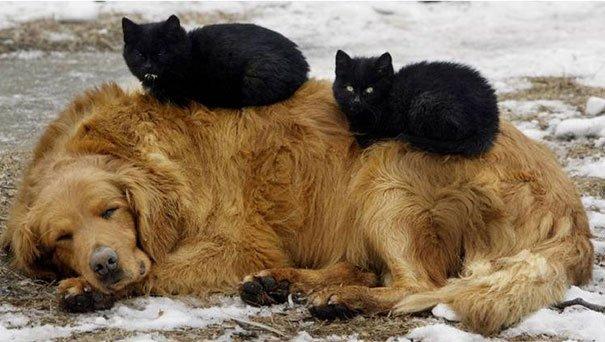 gatos-usan-perro-almohada8