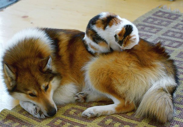 gatos-usan-perro-almohada9