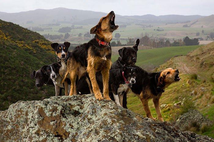 perros-trabajadores6