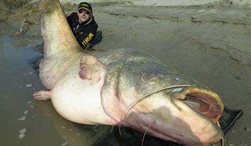 Pueden parecer fotos retocadas, pero este pez gato gigante, es 100% real.