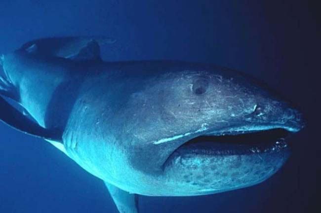 tiburon-boca-ancha2