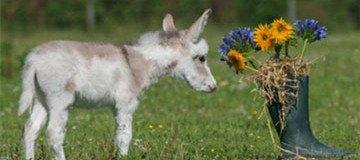 15 Razones por las que los Mini Burros son la mascota que siempre soñaste y nunca conociste.
