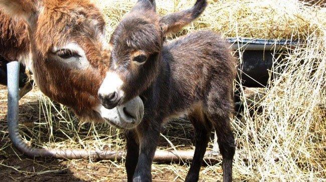 burros-miniatura12