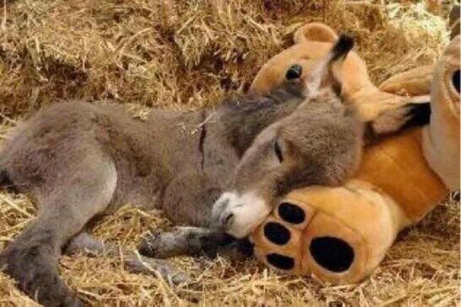 burros-miniatura15
