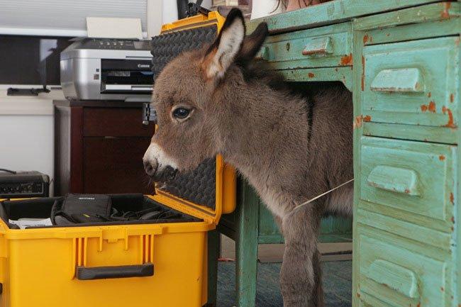 burros-miniatura2