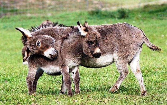 burros-miniatura5