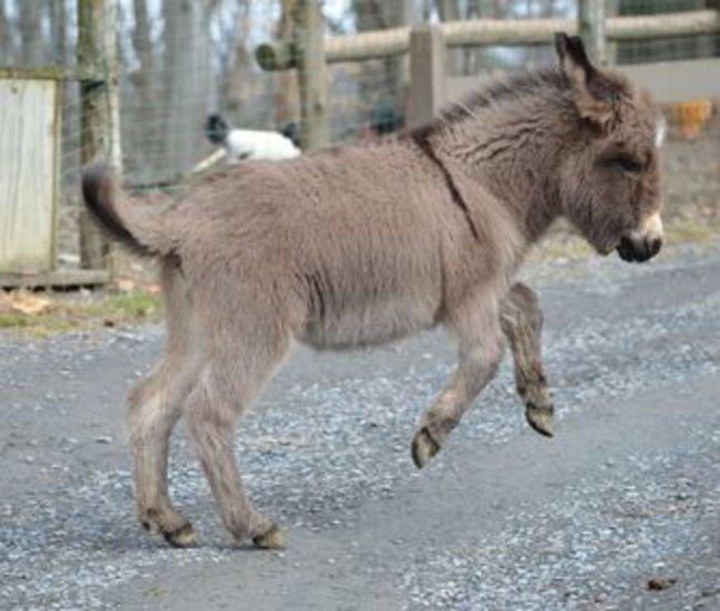 burros-miniatura9
