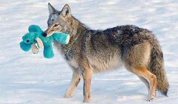 Este Coyote salvaje y su juguete muestran que incluso los más duros tienen su lado tierno.