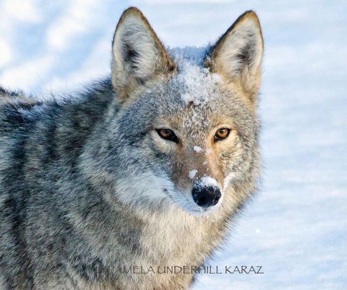 coyote-salvaje-juguete1