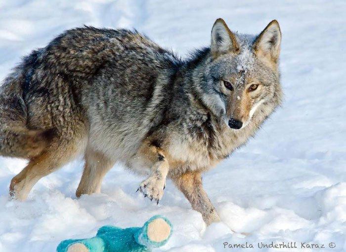 coyote-salvaje-juguete4