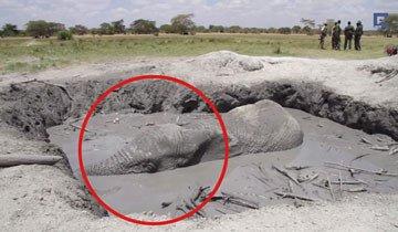 Durante 12 horas, este elefante se fue ahogando lentamente en el barro, tienes que verlo.