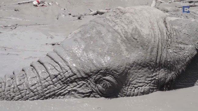 elefante-atrapado-barro-kenia2