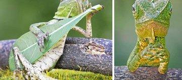 Descubren a un lagarto tocando felizmente su guitarra en Indonesia.