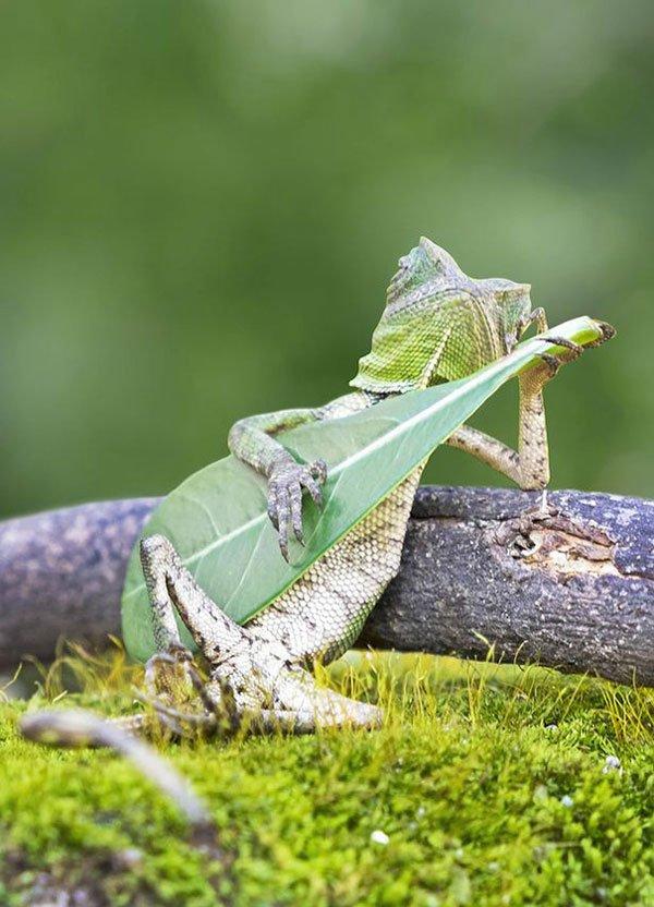 lagarto-guitarrista1