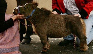 Un caballo increíblemente pequeño pulveriza el récord mundial. Y te enamorará.