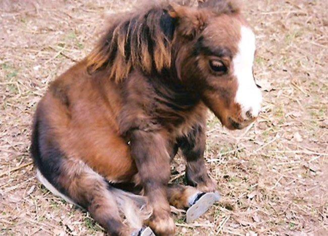 mini-caballo1