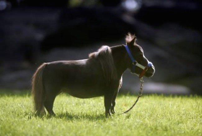 mini-caballo3