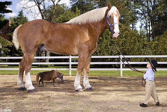 mini-caballo6