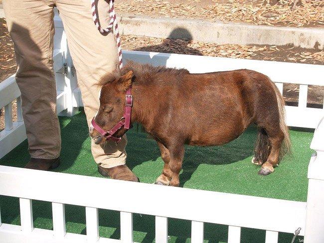 mini-caballo7