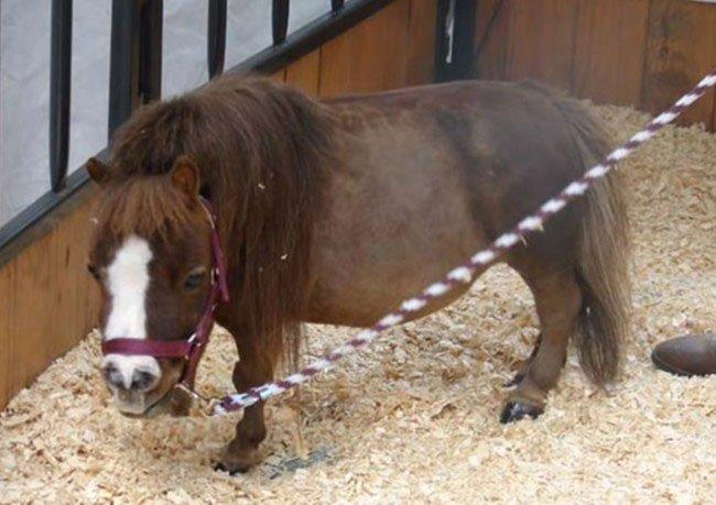 mini-caballo8