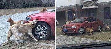 Un conductor golpeó a un perro callejero. El perro volvió con sus amigos y destrozó su coche.