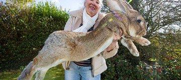 Darius es el conejo más grande del mundo. Aunque su hijo todavía podría superarlo.