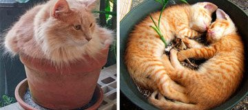 Gato-Planta: La nueva variante del gato doméstico. Se aconseja no regar.