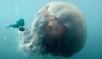 Una nueva especie de medusa gigante fue descubierta en Australia. Aterrorizante.