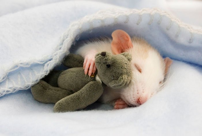 ratas-domesticas-1