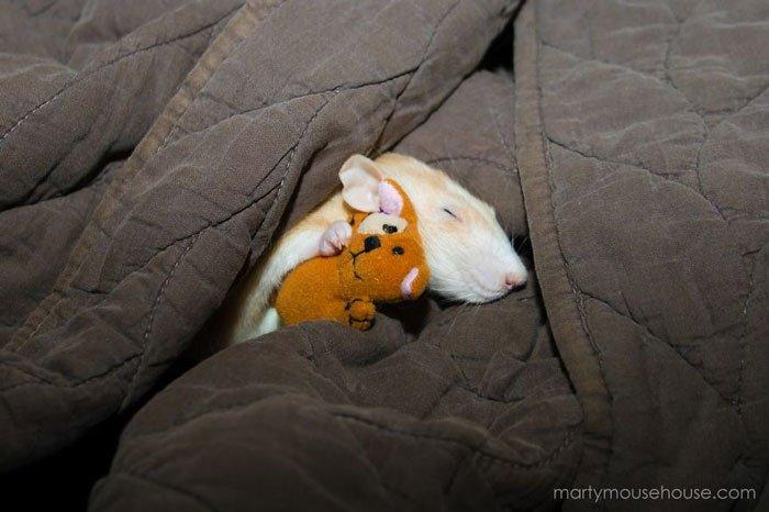 ratas-domesticas-10