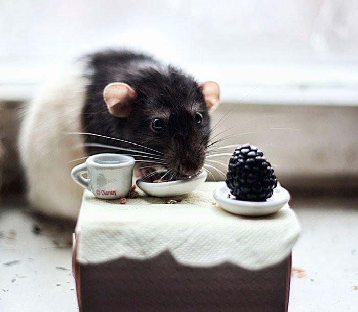 ratas-domesticas-11
